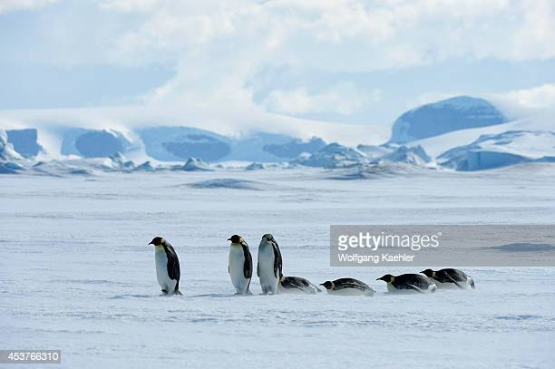 Antarctica Weddell Sea Snow Hill Island Emperor Penguins Aptenodytes forsteri Adult Penguins Tobogganing/walking Over Ice