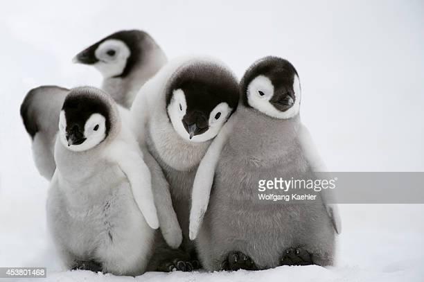 Antarctica Weddell Sea Snow Hill Island Emperor Penguins Aptenodytes forsteri Chicks