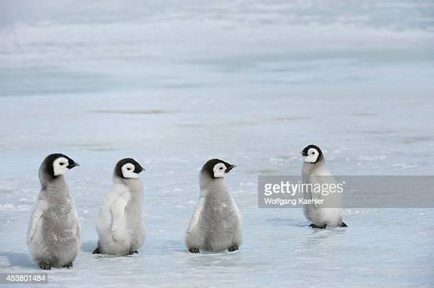Antarctica Weddell Sea Snow Hill Island Emperor Penguins Aptenodytes forsteri Group Of Chicks Walking On Ice Between Sattelite Colonies