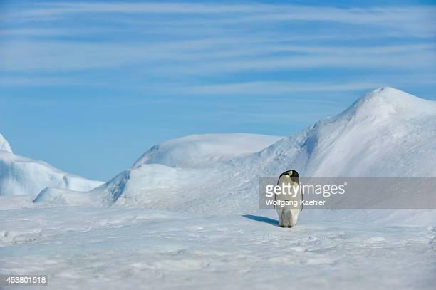 Antarctica Weddell Sea Snow Hill Island Emperor Penguins Aptenodytes forsteri Adult With Chick