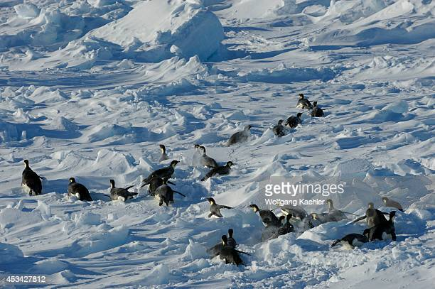 Antarctica Weddell Sea Snow Hill Island Group Of Emperor Penguins Aptenodytes forsteri On Pack Ice Tobogganing