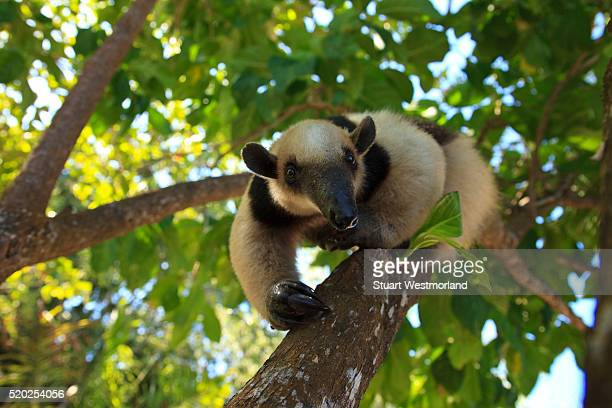 anteater at a rehabilitation center and forest preserve on mango key - anteater - fotografias e filmes do acervo