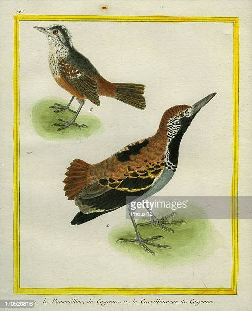 """Anteater Chat and White Bellbird, Procnias albus.1 - Anteater Chat2 - White Bellbird.Georges-Louis Leclerc, Comte of Buffon. """"Natural History of..."""