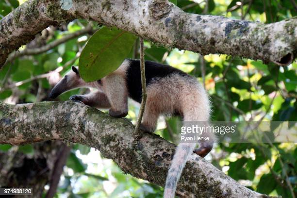 anteater, corcovado, costa rica - anteater stock pictures, royalty-free photos & images