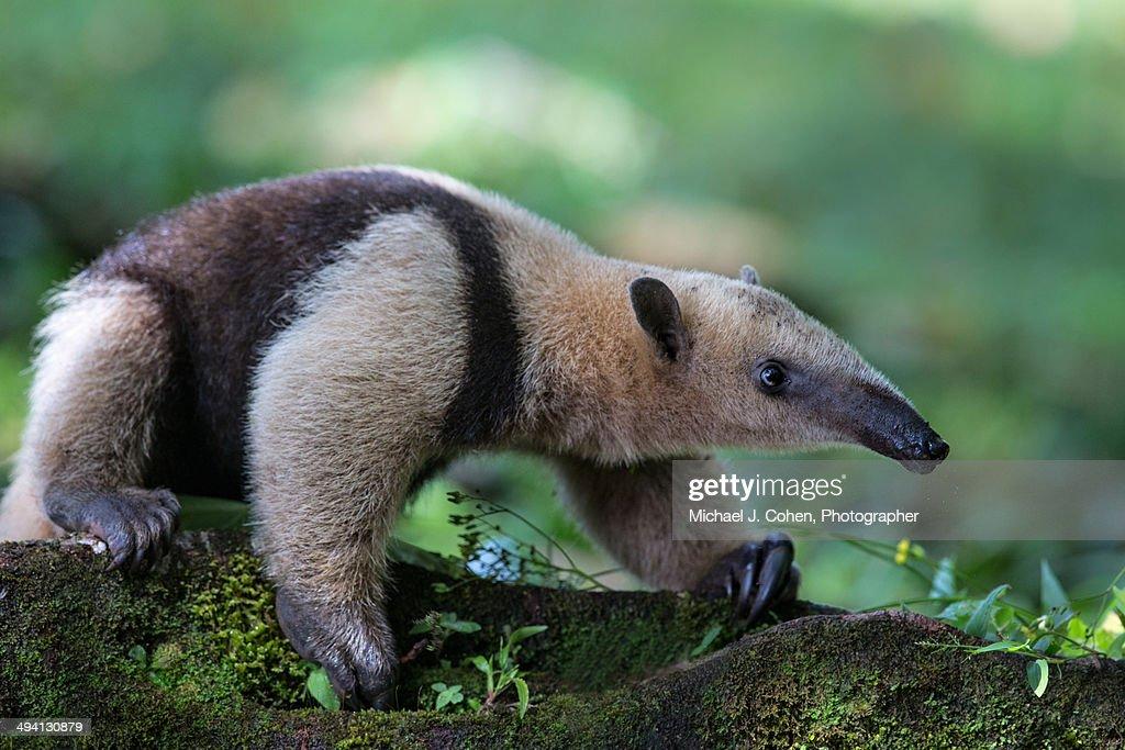 Anteater in Costa Rica : Stock Photo