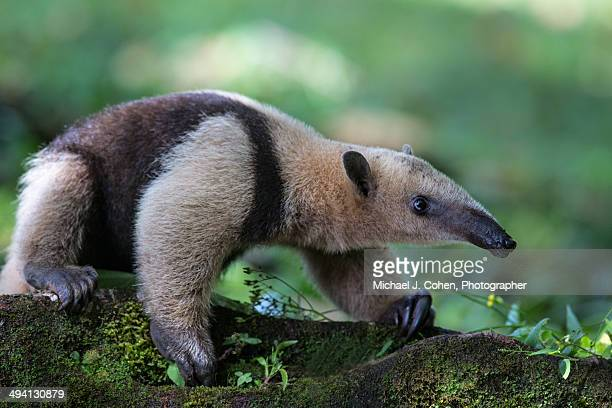 anteater in costa rica - anteater stock pictures, royalty-free photos & images