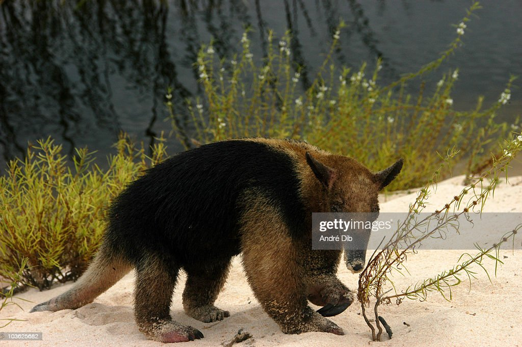 Anteater Mirim : Stock Photo