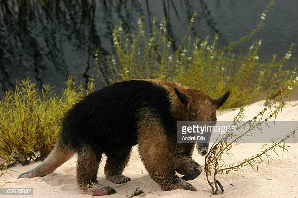 anteater mirim - anteater stock pictures, royalty-free photos & images