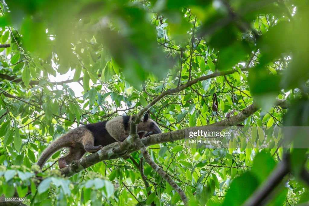 Anteater on a branch in Corcovado National Park : Stock Photo