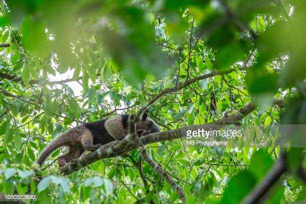 anteater on a branch in corcovado national park - giant anteater fotografías e imágenes de stock