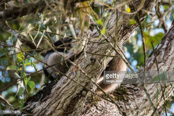 anteater on tree in costa rica - tamandua anteater stock pictures, royalty-free photos & images