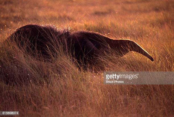 Anteater or tamanoir in the Cerrado vegetation, the regional name given to the Brazilian savannas at Parque Nacional das Emas in Goias State, central...