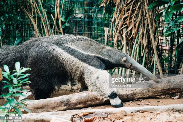 anteater - anteater stock pictures, royalty-free photos & images