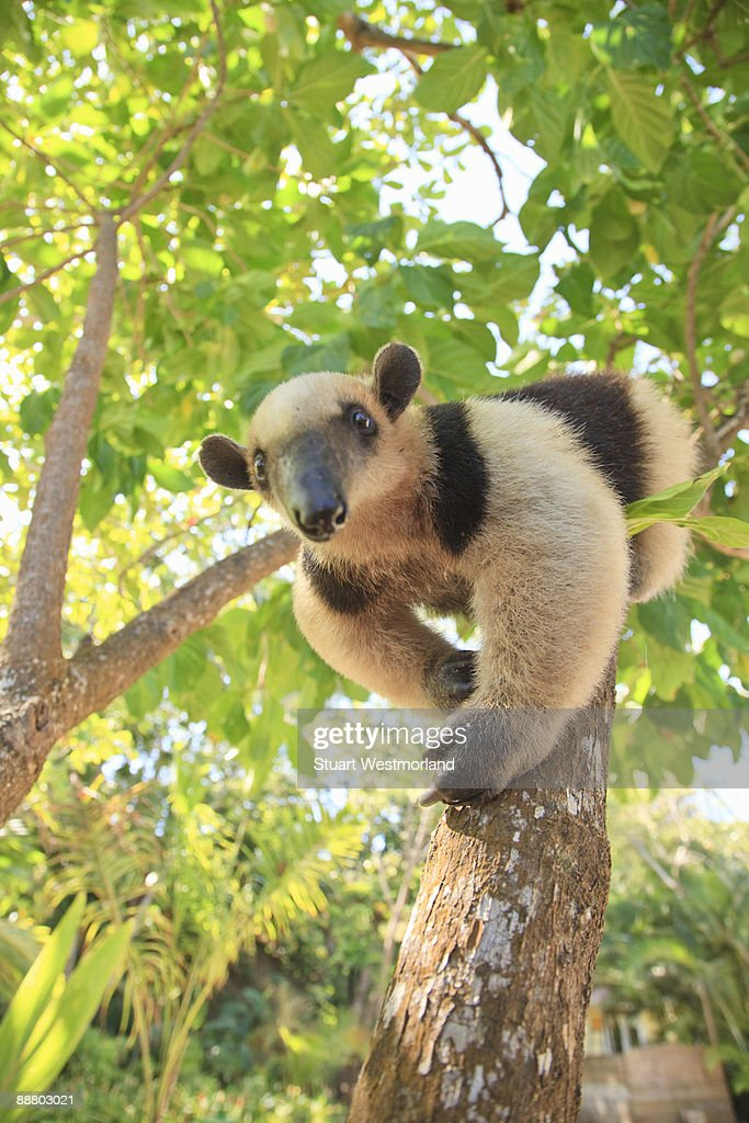Anteater : Stock Photo