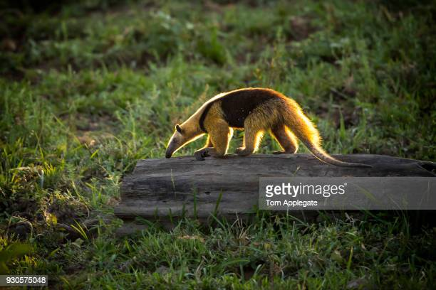 anteater - giant anteater stock pictures, royalty-free photos & images