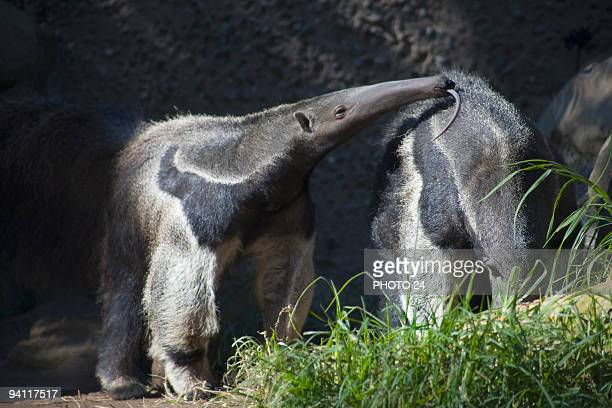 anteater - anteater tongue stock pictures, royalty-free photos & images