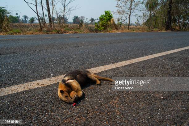 anteater run over on the pantanal road. - tamandua anteater stock pictures, royalty-free photos & images