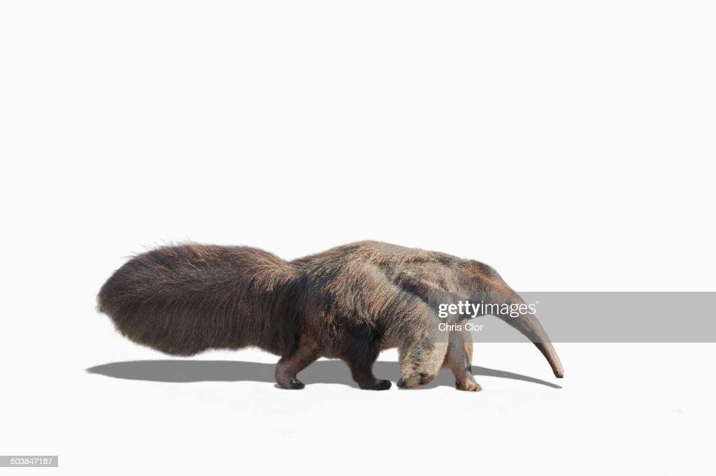 Anteater walking in studio : Stock Photo