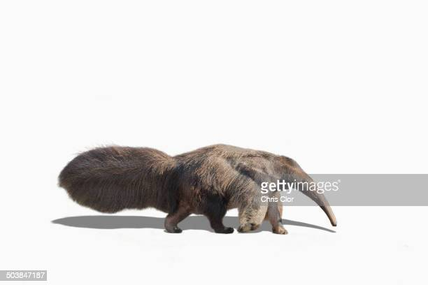 anteater walking in studio - anteater stock pictures, royalty-free photos & images