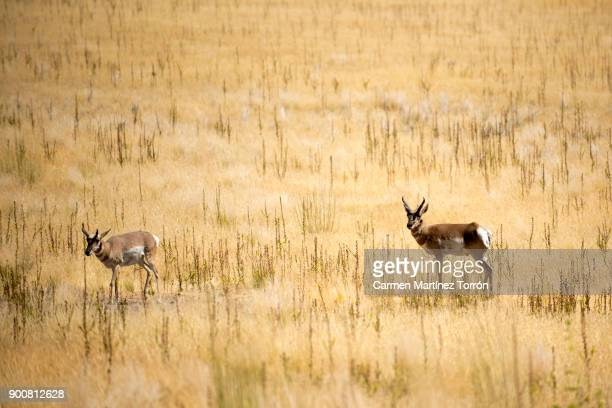Antelope at Great Salt lake, Salt Lake City. Utah