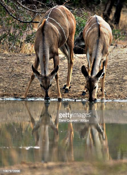 antelope couple at watering hole - safari animals stock pictures, royalty-free photos & images
