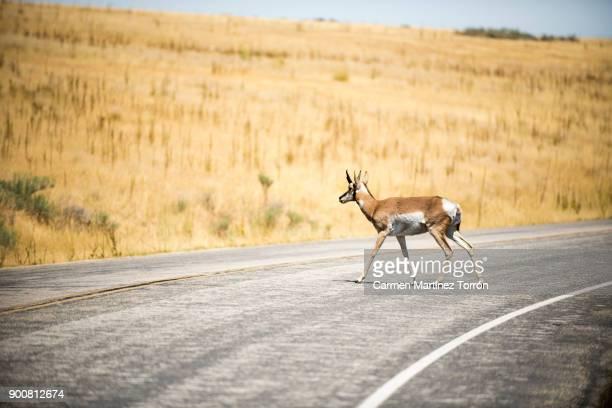 Antelope crossing road at Great Salt lake, Salt Lake City. Utah