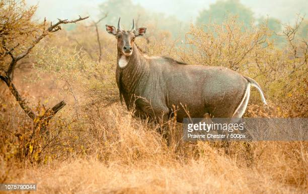 antelope in the wild - nilgai stock photos and pictures