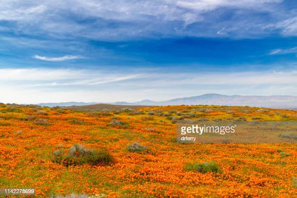 antelope valley poppy reserve- poppies and blue sky - california golden poppy stock pictures, royalty-free photos & images