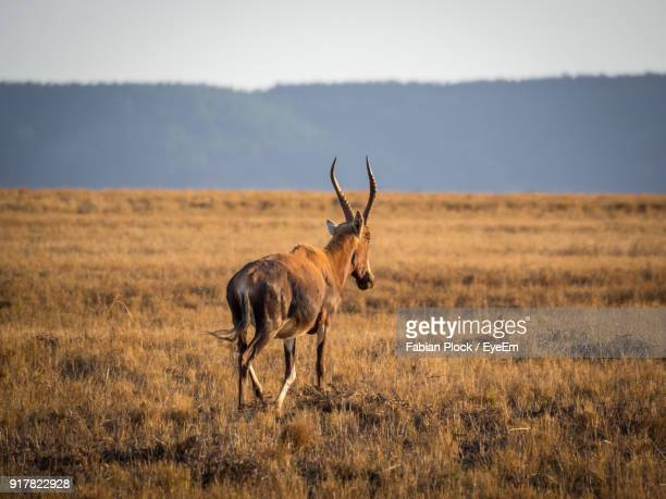 antelope walking on field during sunny day - swaziland fotografías e imágenes de stock