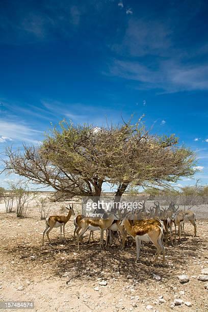 Antelopes Africa Namibia Etosha Pan