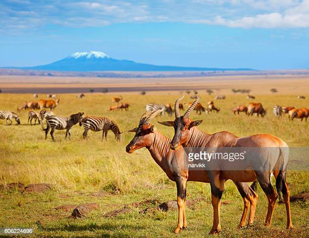 Antelopes and zebras in Kenya