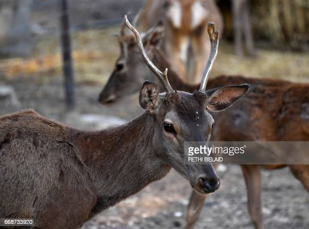 Antelopes are seen at the Belvedere Zoo which was closed for renovation works following an attack on a crocodile a month earlier in the capital Tunis...