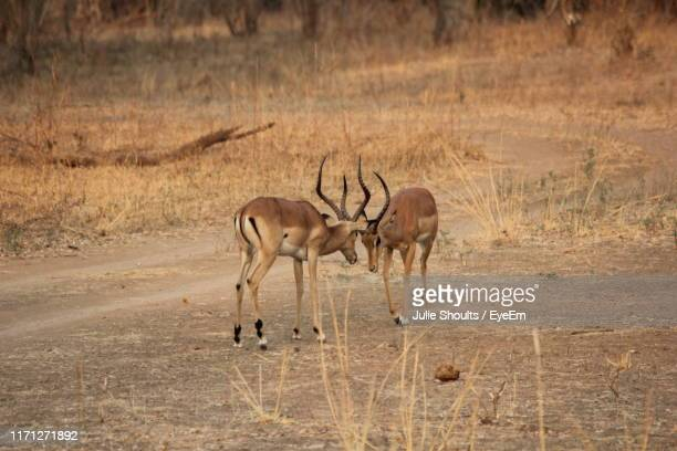 antelopes on land - south luangwa national park stock pictures, royalty-free photos & images