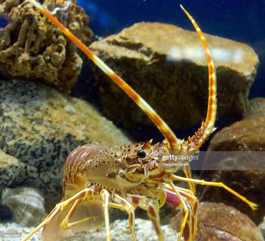 antenna lobster : Bildbanksbilder