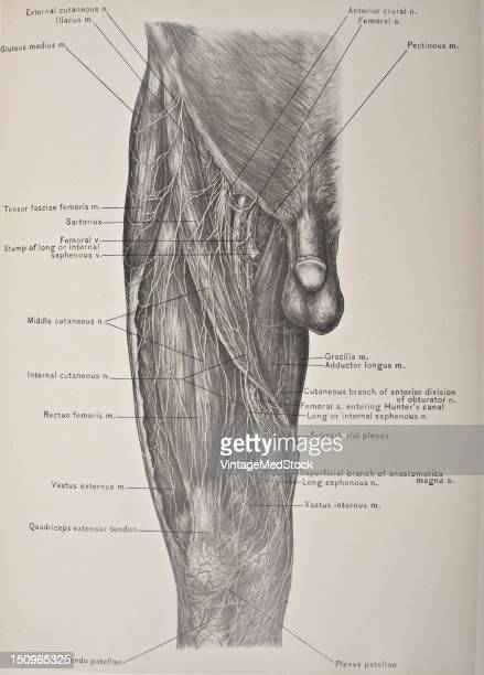 Anterior compartment muscles of the thigh include pectineus sartorius and the four muscles that comprise the quadriceps muscles rectus femoris vastus...