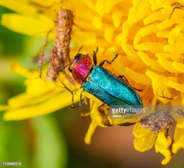 Anthaxia nitidula – jewel beetle
