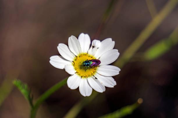Anthaxia scutellaris, jewel beetle, escarabajo joya
