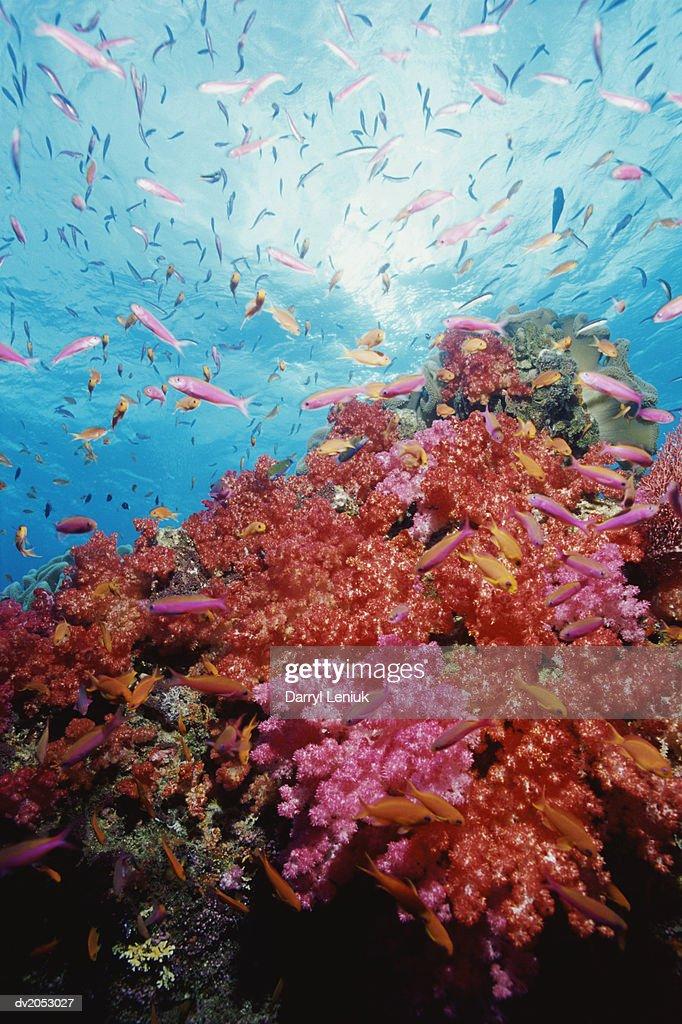 Anthia Swimming by Soft Coral, Figi : Stock Photo