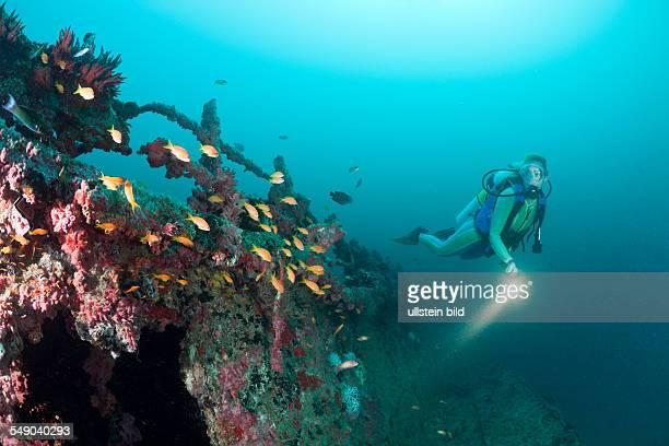 Anthias at Kuda Giri Wreck Pseudanthias squamipinnis South Male Atoll Maldives