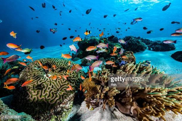 anthias fish meeting am sandy reef, komodo nationalpark, indonesien - mariner lebensraum stock-fotos und bilder