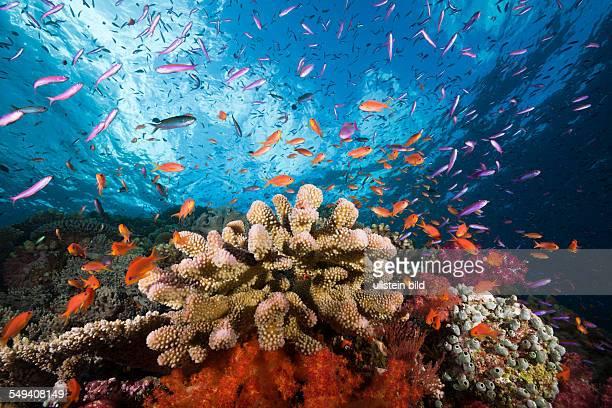 Anthias over Coral Reef Luzonichthys whitleyi Pseudanthias squamipinnis Makogai Lomaviti Fiji