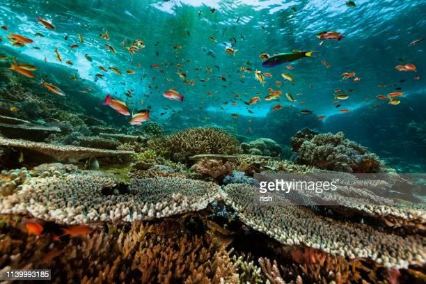 anthias paradise, arrecife de coral duro prístino, parque nacional de komodo, indonesia - komodo fotografías e imágenes de stock