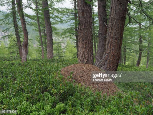 Anthill Among Pine Trees, Alpe Veglia Natural Park