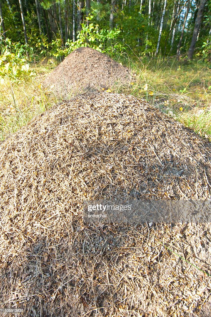 Anthill in a lush in forest. : Stock Photo