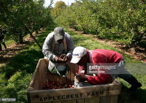 Anthony Gardener left and Audley Butler unload apples at Applecrest Farm Orchards in Hampton Falls NH on Sep 26 2017 Applecrest bills itself as one...