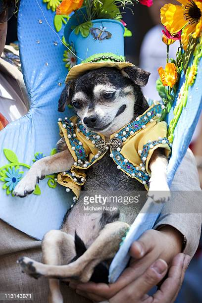 Anthony Rubio, of the Bronx, and his chihuahua Bandit take part in the 2011 Easter Parade and Easter Bonnet Festival on April 24, 2011 in New York...