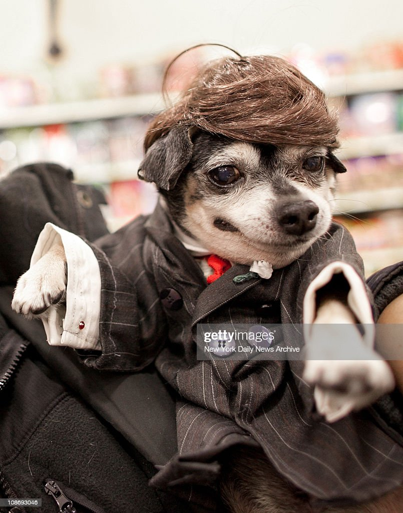 Anthony Rubio of the Bronx dressed his chihuahua Bandit Rubio as Donald Trump, at the dog celebrity lookalike contest at the PetSmart store in on Broadway.Bandit took first prize. Photo by Paul DeMaria/NY Daily News via Getty Images)
