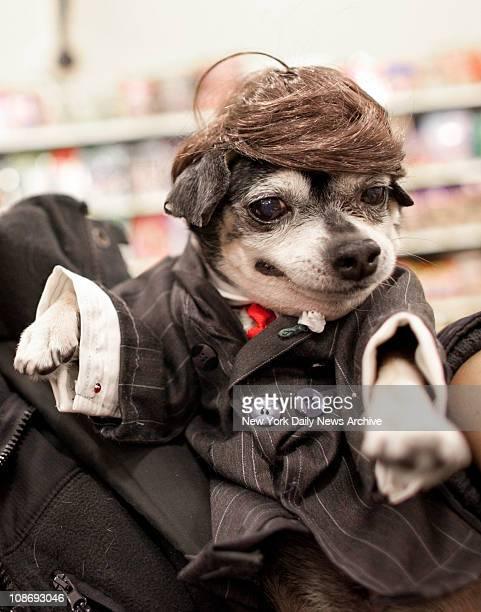 Anthony Rubio of the Bronx dressed his chihuahua Bandit Rubio as Donald Trump at the dog celebrity lookalike contest at the PetSmart store in on...