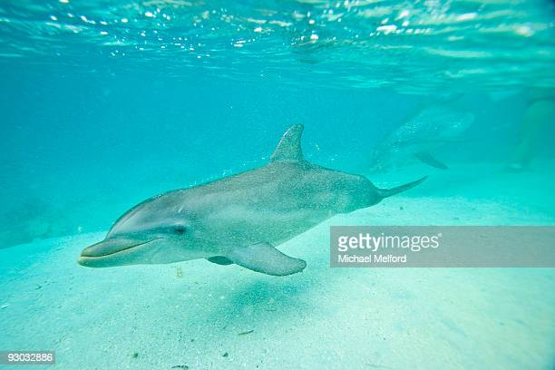 A dolphin swimming underwater at a resort in Roatan.
