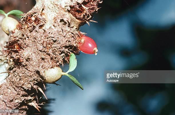 Anthouse plant Myrmecodia beccarii epiphytic plant fruit and young shoot Tropical Australia